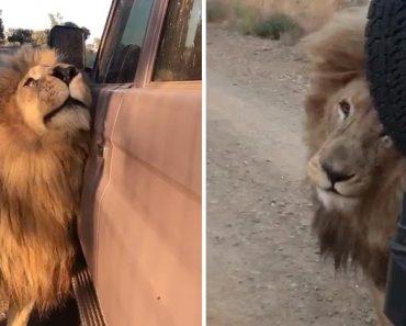 Leão Confunde Carro Com Membros Do Clã e Mostra Uma Estranha Atração Pelos Veículos 5