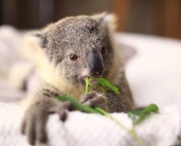 Depois De Ver Este Adorável Koala, Também Vai Querer Ter Um 3