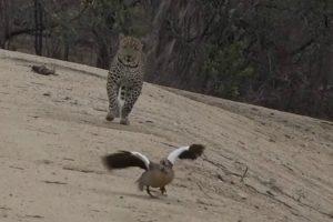 Inteligente Mãe Ganso Finge Estar Ferida Para Atrair Leopardo e Afastá-lo Das Suas Crias 10