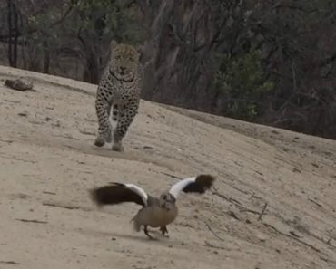 Inteligente Mãe Ganso Finge Estar Ferida Para Atrair Leopardo e Afastá-lo Das Suas Crias 1