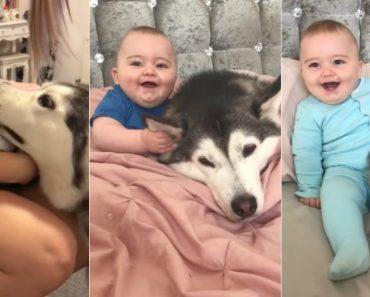 """Husky """"Prometeu"""" Cuidar Deste Bebé Desde o 1º Dia e Está a Cumprir Com Mestria 7"""