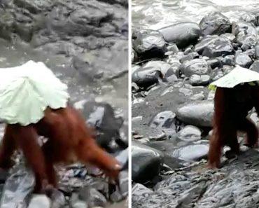 Orangotangos Protegem-se Da Chuva Ao Usarem Folha e Saco De Plástico Como Chapéu-de-chuva 4