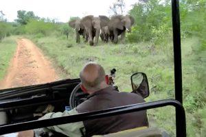 Turistas Ouvem a Explicação De Guia Enquanto Grupo De Elefantes Zangados Os Persegue 10