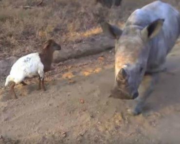 Rinoceronte Tenta Copiar Os Movimentos Da Sua Melhor Amiga 3