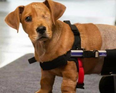 Cachorrinho Abandonado Que Perdeu Olho e Duas Patas Encontra Uma Família 1