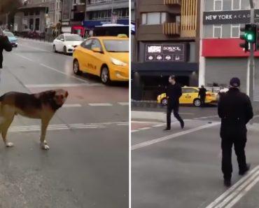 Cão Espera Pacientemente Que Semáforo Fique Verde Enquanto Humanos Atravessam Sem Respeitar o Sinal 2