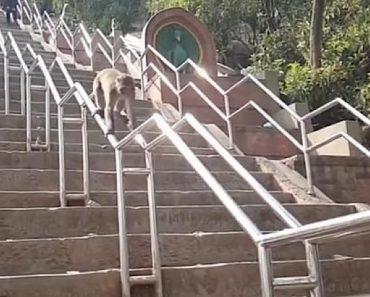 Inteligente Macaco Poupa Tempo e Energia Ao Deslizar Sobre Corrimão De Longas Escadas 7