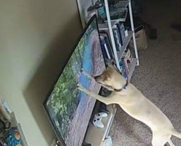 Dono Toma a Péssima Decisão De Deixar o Seu Cão Na Sala Com a Tv Ligada Em Programa De Vida Selvagem 2
