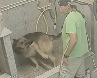 Câmara De Segurança Denuncia Tratador De Cães a Maltratar Pastor Alemão 5
