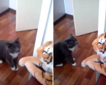 Gato Mostra Ao Tigre Quem é o Chefe Da Casa 3