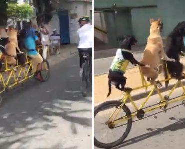 Ciclista e Os Seus 3 Cães Não Quiseram Faltar a Passeio De Bicicleta 7