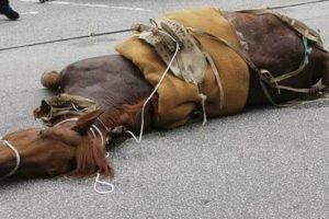 Cavalo De Viseu Que Foi Levado à Exaustão e Caiu Inanimado Acabou Por Não Resistir 10