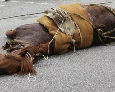 Cavalo De Viseu Que Foi Levado à Exaustão e Caiu Inanimado Acabou Por Não Resistir 5