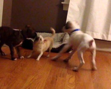 2 Cães Descobrem Truque Perfeito Para Expulsar Outro Cão Da Sua Cama 7