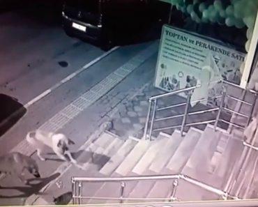 Cães São Forçados a Fugir De Um Só Gato Após Ousarem Aproximarem-se Dele 3