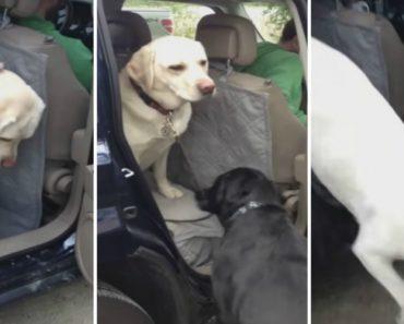 Adorável Labrador Ajuda o Seu Melhor Amigo a Sair Do Carro 2