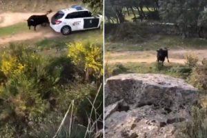 Touro Enraivecido Foge De Quinta E Marra Nas Viaturas Da Polícia 10