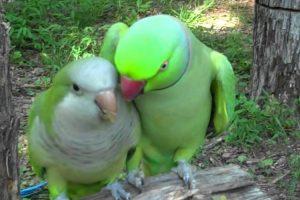 Este é Provavelmente o Mais Apaixonado De Todos Os Papagaios 10