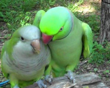 Este é Provavelmente o Mais Apaixonado De Todos Os Papagaios 1