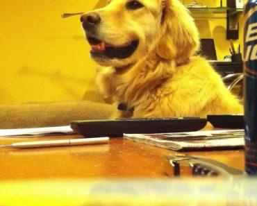 Ninguém Gosta Tanto Do Som De Uma Guitarra Quanto Este Golden Retriever 2