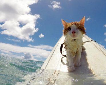 Destemido Gatinho Com Apenas Um Olho Adora Fazer Surf Com Os Seus Donos 1