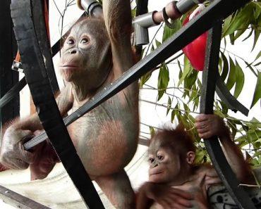 Orangotangos Bebés Conhecem-se Pela 1ª Vez e o Encontro é Simplesmente Adorável! 5