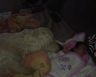 Cão Com Grande Instinto Maternal Aconchega Recém-Nascida Tapando-a Com Cobertor 3