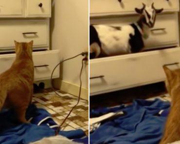 Gato Assusta-se No Momento Em Que Cabra Sai De Dentro De Uma Gaveta 2