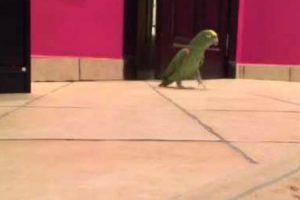 Papagaio Dá a Mais Adorável Gargalhada Maquiavélica Depois De Entrar No Quarto Do Dono 10
