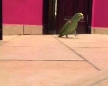 Papagaio Dá a Mais Adorável Gargalhada Maquiavélica Depois De Entrar No Quarto Do Dono 6