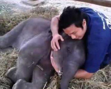 Encantador Elefante De 3 Meses Confia Tanto No Seu Tratador Que Adormece No Seu Colo 7