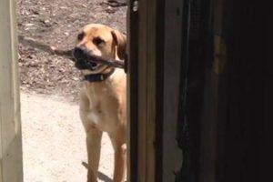 Cão Não Consegue Entrar Em Casa Com Enorme Pau, Mas Depressa Faz Uma Escolha 10