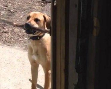 Cão Não Consegue Entrar Em Casa Com Enorme Pau, Mas Depressa Faz Uma Escolha 8