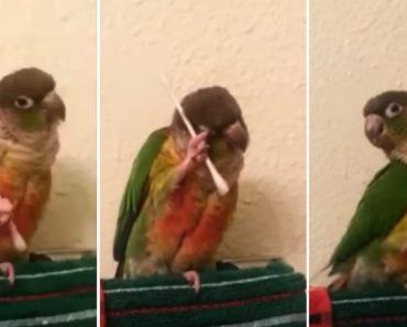 Pássaro Sabe Como Os Cotonetes São Importantes Na Higiene Diária 8