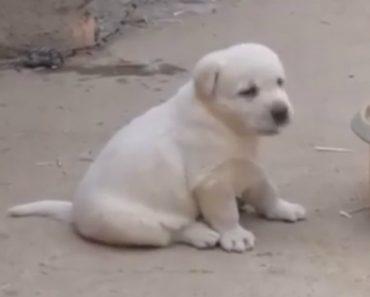 Cachorrinho Imita Na Perfeição Um Galo 8