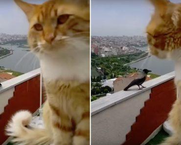 Filmagem Capta a Conversa Entre Um Gato e Um Corvo 9