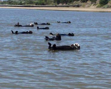 Lontras Encantam Turistas Com Momento De Natação Sincronizada 1