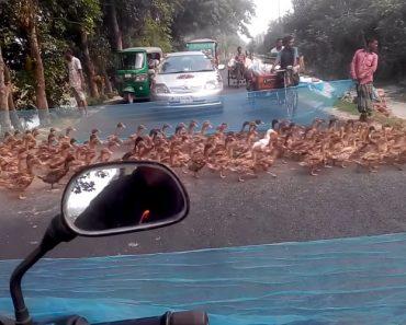 Nesta Movimentada Estrada, Os Condutores Param Para Dar Passagem a Dezenas De Patos 2