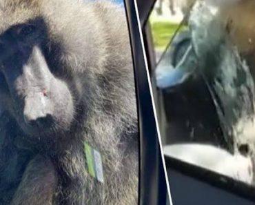Família Comete o Erro De Deixar a Janela Do Carro Aberta Durante Visita a Safari 1