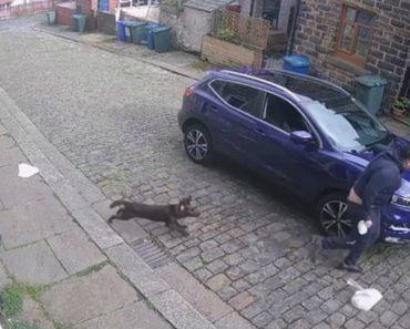 Estafeta Perseguido Por Pequeno Cão Deixa Cair Encomenda e As Calças 26