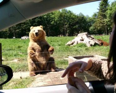 Este Urso Sabe Como Impressionar Os Visitantes 8