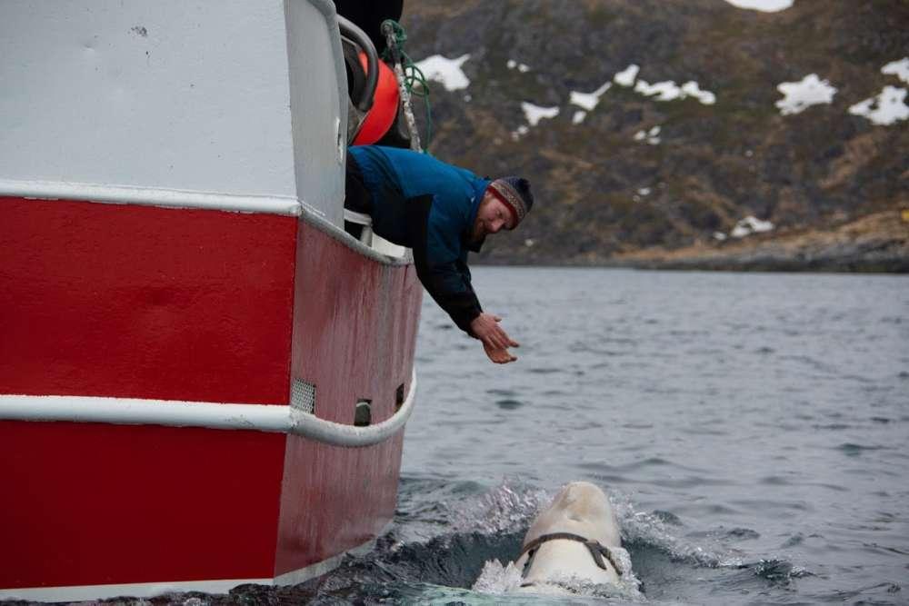 Baleia Misteriosa Encontrada Na Noruega Pode Ser Uma Arma Militar Russa 3