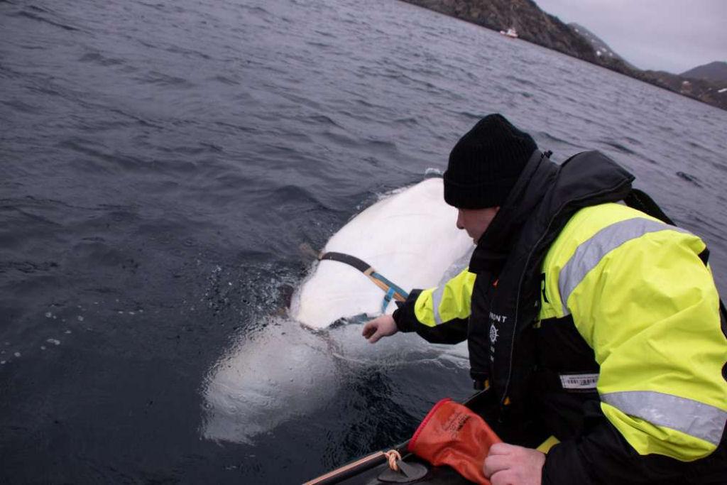 Baleia Misteriosa Encontrada Na Noruega Pode Ser Uma Arma Militar Russa 4