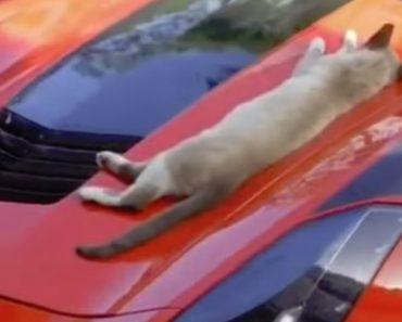Gato Não Estava Preparado Para o Que Vinha a Seguir Quando Decidiu Descansar Em Cima De Um Corvette 5