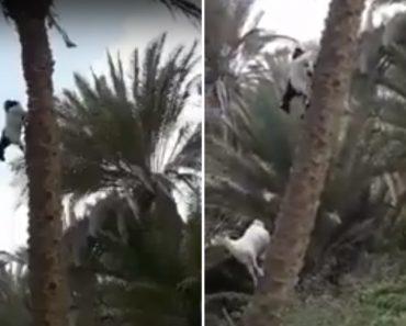 Cabras Fazem Escalada Vertical Ao Subirem Árvore 2