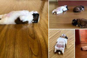 """Cãozinho Dorme Como Se Tivesse Sido """"Desligado""""… e Isso é Tão Fofo! 10"""