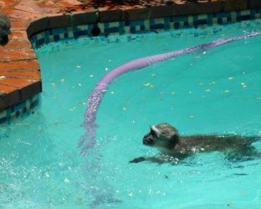 Macacos Não Resistem Em Mergulhar Ao Encontrarem Piscina 3