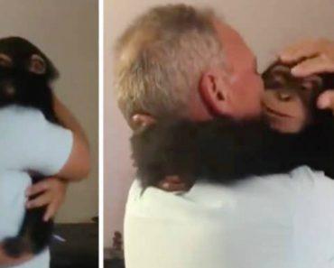 Chimpanzé Fica Eufórico Ao Reencontrar As Pessoas Que Cuidaram Dele 1