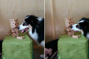 Cadela Surpreende Ao Jogar Jenga Melhor Do Que a Dona 12