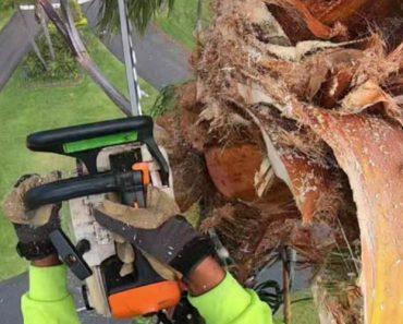 Trabalhador Sobe Ao Topo De Palmeira Para a Podar e Logo Depois Salta Para a Palmeira Seguinte 8